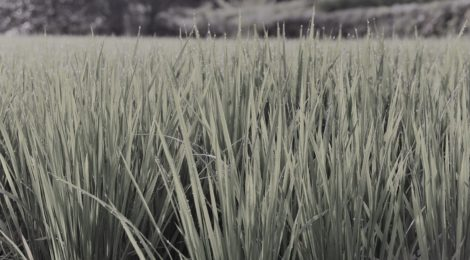 Photo of Dewdrops in ricefield near Shirakawago, Japan