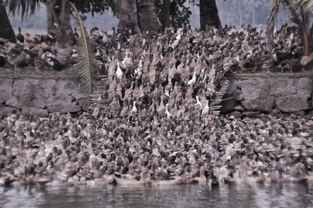 Photo of duck herd on the move, Kerala, India